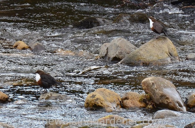 Dippers-Swaledale
