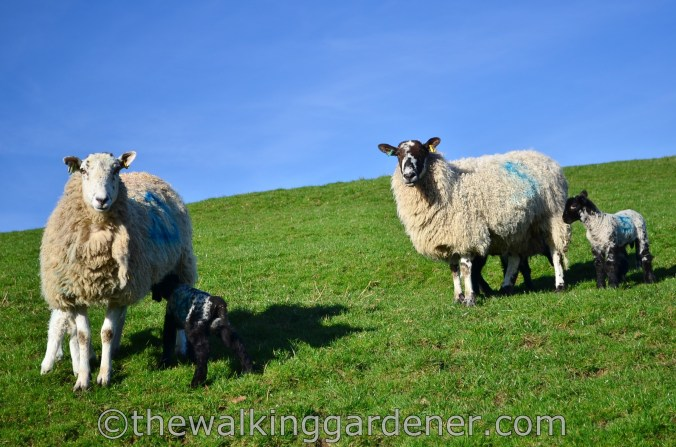 Cumbria Way Sheep
