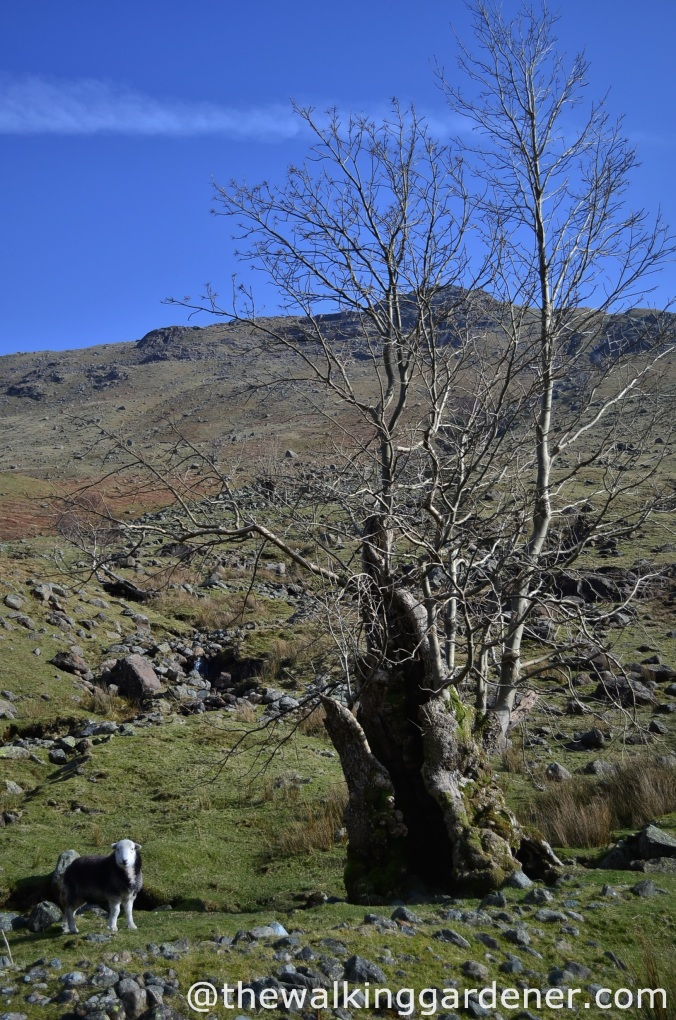 ash tree langstrath 2