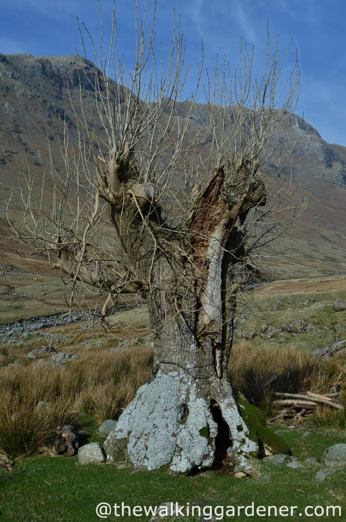 ash tree langstrath