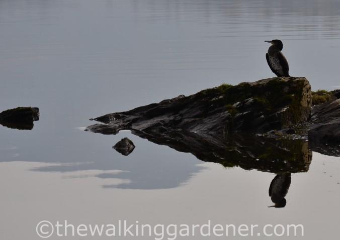 Cormorant (1)