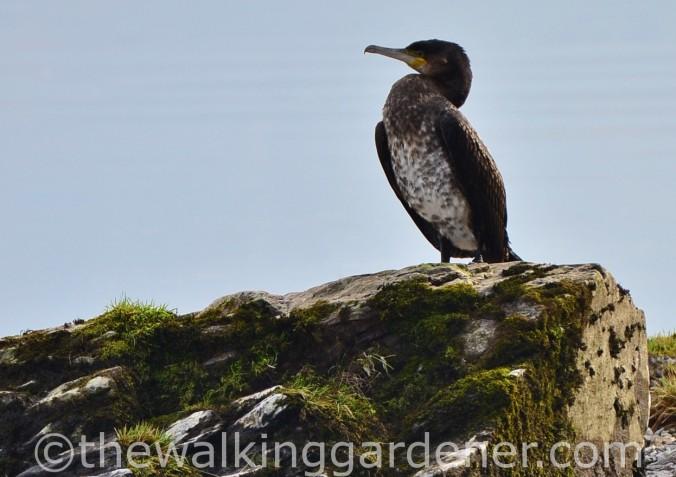 Cormorant (2)