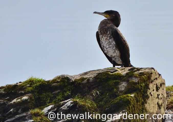 Cormorant 2