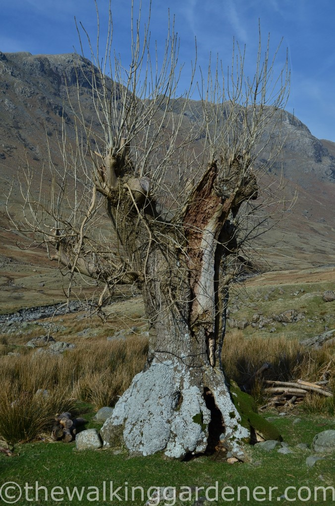 Langstrath Ash trees (1)