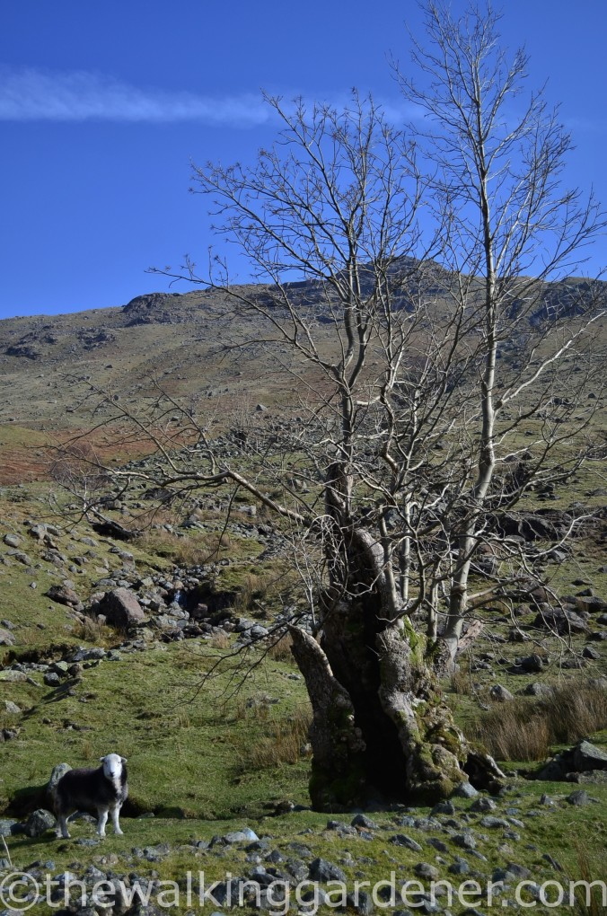 Langstrath Ash trees (2)