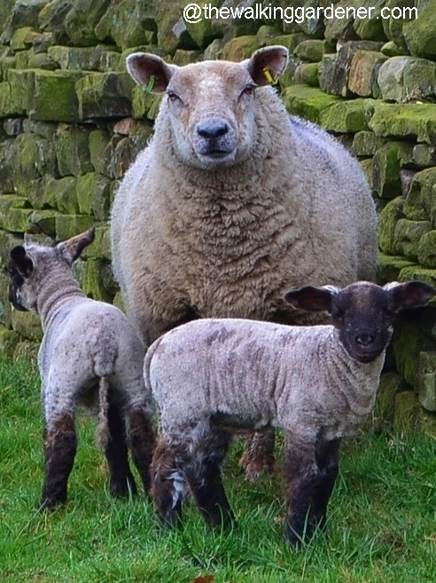 Sheep with lambs 02