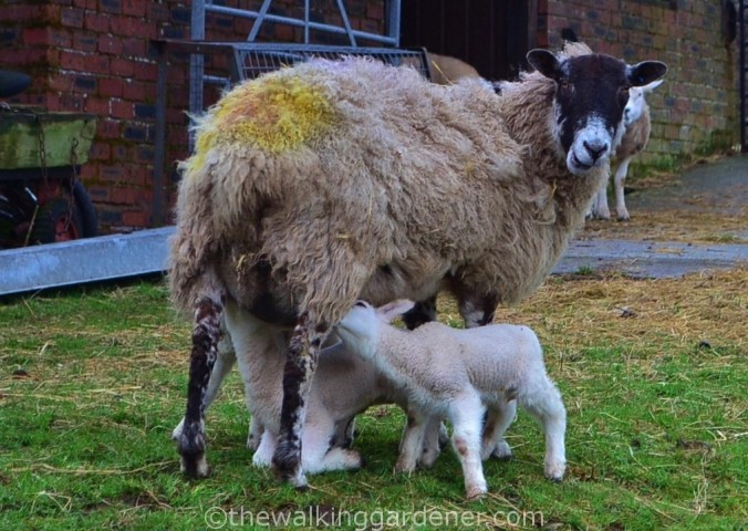 Sheep with lambs