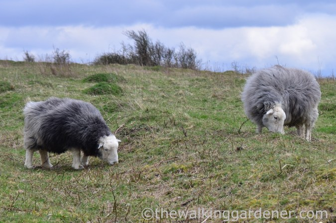 Herdwick sheep, Hampshire