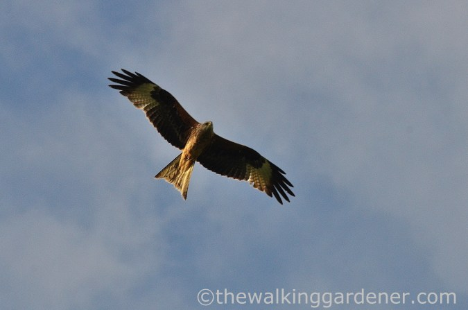 Red kite South Downs