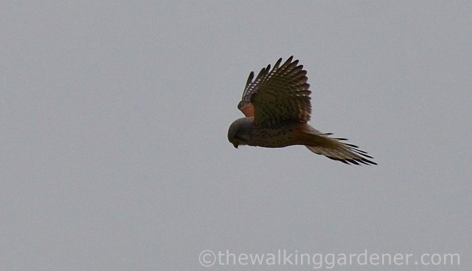 kestrel-hovering