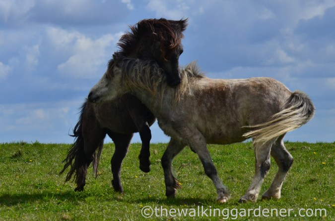south-downs-ponies-1