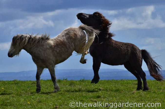 south-downs-ponies-2