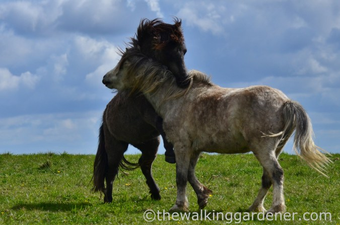 south-downs-ponies-3