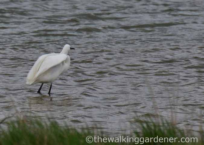 white-egret-sussex