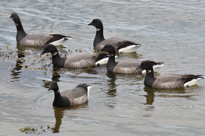 Brent Geese (1)